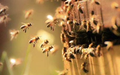 Istoria apiculturii la momârlani