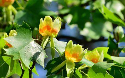 """Tulipanul """"arborele cu lalele"""""""