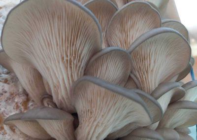 Ciupercă de crescătorie pleurotus 0
